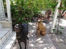 2 больших собаки усмехаясь на камере на солнечный день Стоковое Изображение