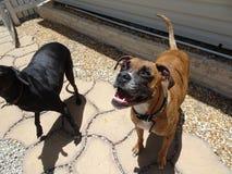 2 больших собаки усмехаясь на камере на солнечный день Стоковое фото RF