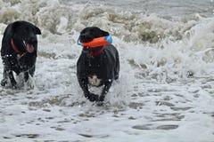 2 больших черных собаки играя в волнах на собаке приставают к берегу Стоковая Фотография RF