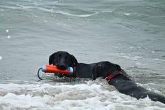 2 больших черных собаки играя в Тихом океане на собаке приставают к берегу Стоковая Фотография