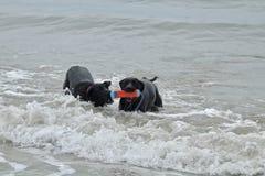 2 больших черных собаки играя с игрушкой на собаке приставают к берегу Стоковая Фотография RF