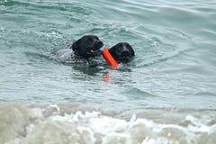 2 больших черных собаки плавая в океане выручая игрушку Стоковое Изображение