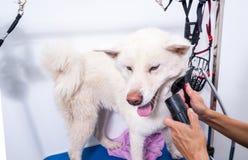 Большое белое и влажное мех собаки Акиты Inu холя после купать с смешным выражением стороны, селективным фокусом Стоковые Изображения
