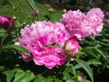 Большое бледное - розовые пионы полностью цветене Стоковые Фотографии RF