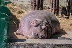 Большое, взрослый бегемот спать на конкретном поле стоковое фото rf