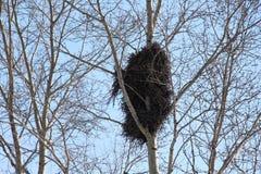 Большое гнездо птицы на дереве/сезоне весны/ Стоковая Фотография RF