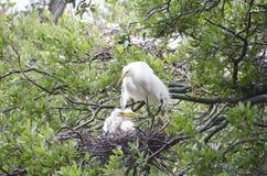 Большое гнездо Egret Стоковое Фото