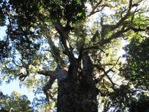 Большое дерево в индигенном африканском лесе, Hogsback Стоковая Фотография RF
