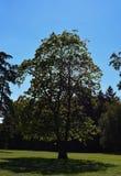 Большое дерево в парке на предпосылке голубого неба стоковые фотографии rf