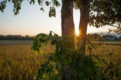 Большое дерево в поле риса террасы стоковое фото rf