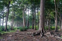 Большое дерево в предпосылке жизни зеленого цвета леса Стоковое Фото