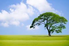 Большое дерево в саде и окружающей среде неба хорошей Стоковое Изображение