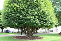 Большое дерево в саде Стоковая Фотография