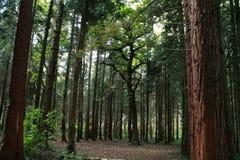 Большое дерево в середине отверстия в древесинах стоковое фото rf