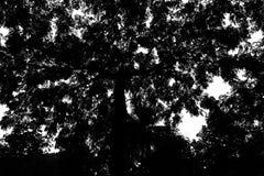 Большое дерево имеет ветви и листья черная белизна стоковые изображения rf