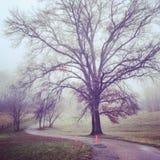 Большое дерево клена на дороге фермы в тумане Стоковое фото RF