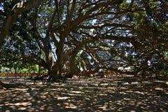 Большое дерево пересеченное тенями shading солнечного света Стоковые Фотографии RF