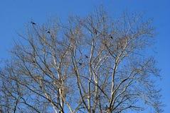 Большое дерево при вороны сидя на ветвях Стоковое Изображение RF