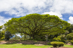 Большое дерево стручка обезьяны Стоковые Изображения RF