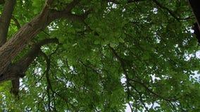 Большое дерево с зелеными листьями сток-видео