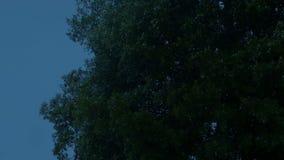 Большое дерево тряся на ветреном вечере сток-видео