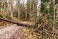 Большое дерево упаденное через путь полесья после большого шторма стоковое изображение