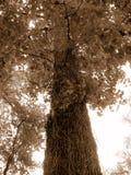 Большое дерево Стоковые Фотографии RF