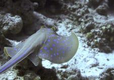 большое заплывание луча подводное Стоковые Изображения