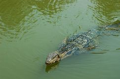 Большое заплывание ящерицы монитора в зеленом пруде Стоковая Фотография RF