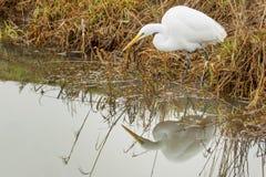 Большое звероловство Egret в заболоченных местах Стоковая Фотография RF