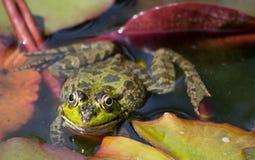 Большое изображение лягушки лежа в воде Стоковые Изображения RF