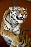 Большое изображение тигра на красивой красной предпосылке Изумляя tig Стоковая Фотография RF