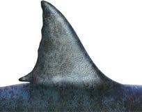 Большое изолированное ребро белой акулы, Стоковая Фотография RF