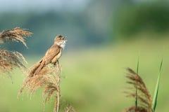 Большое камышовое arundinaceus настоящей камышевки певчей птицы стоковое фото