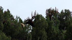 Большое количество лося пряча в деревьях кедра сток-видео