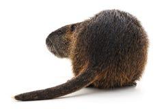 Большое коричневое nutria Стоковое Изображение RF