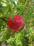 Большое красное гранатовое дерево Стоковая Фотография