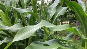 Большое кукурузное поле нежно пошатывая в ветре сток-видео