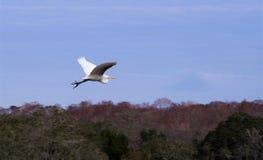 Большое летание Egret стоковые фотографии rf