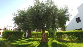 Большое оливковое дерево в саде дома видеоматериал