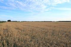 Большое открытое поле золотой пшеницы смотрит гармонично против голубого неба стоковые изображения rf