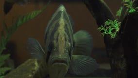 Большое плавание рыб в конце воды аквариума вверх Тропический плавать рыб подводный домашнего аквариума Наблюдать подводный сток-видео