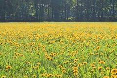 Большое поле желтых одуванчиков в предыдущем утре весны стоковое фото