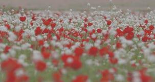 Большое поле зацветая красных маков видеоматериал