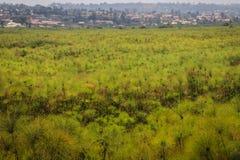 Большое поле зеленых папируса и домов в деревне стоковое фото rf