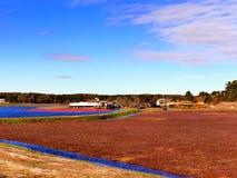 Большое поле трясин клюкв стоковое изображение rf