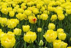 Большое поле ярких желтых тюльпанов с зелеными стержнями стоковые изображения rf