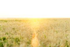 Большое пшеничное поле В лете, яркий солнечный свет красивый ландшафт природы Концепция богатого сбора Стоковая Фотография RF