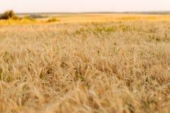 Большое пшеничное поле В лете, в ярком солнечном свете красивый ландшафт природы Концепция богатого сбора Стоковые Изображения RF