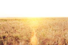 Большое пшеничное поле В лете, в ярком солнечном свете красивый ландшафт природы Концепция богатого сбора Стоковое Изображение